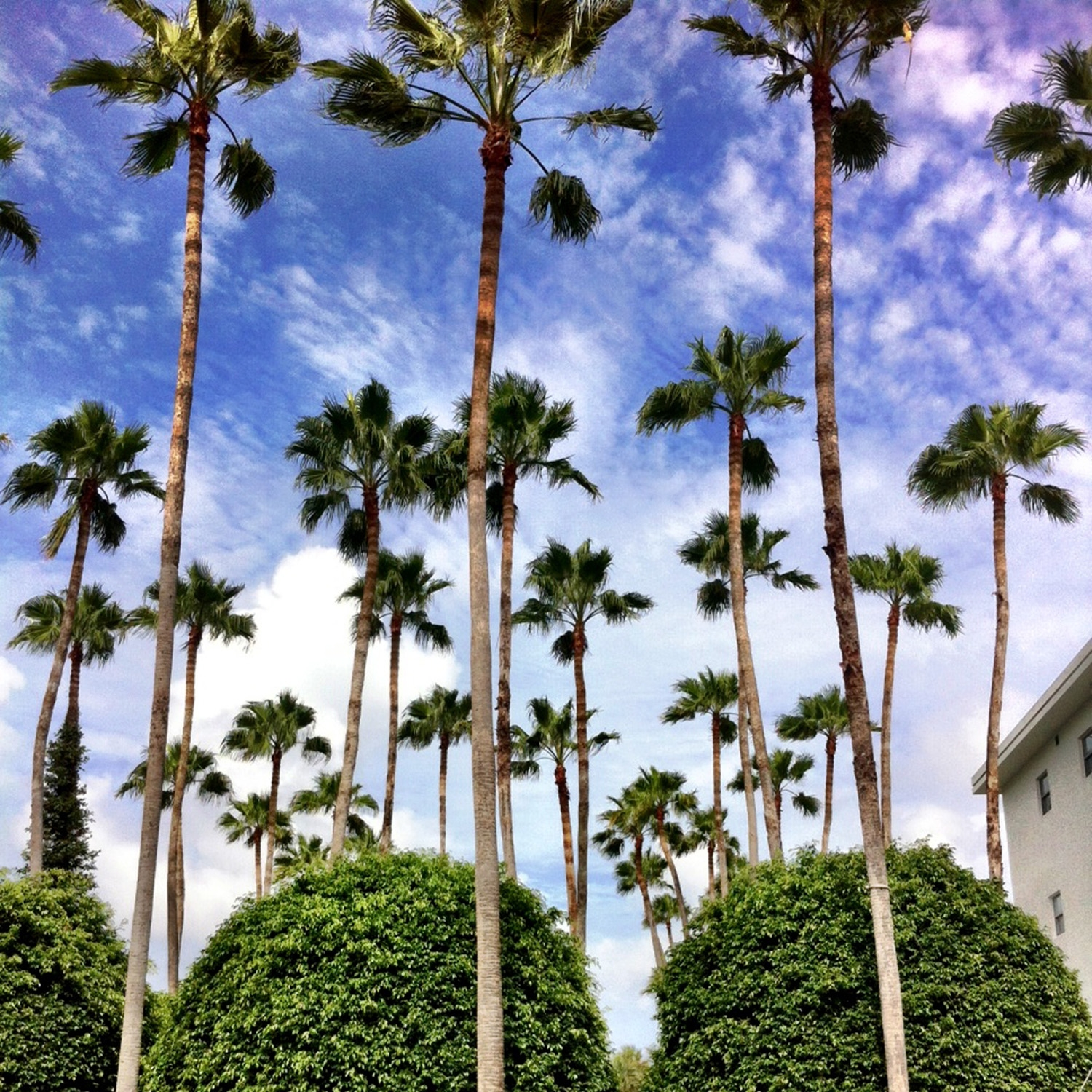 Looking up at the tall skinny palms and cloudy sky at The Delano