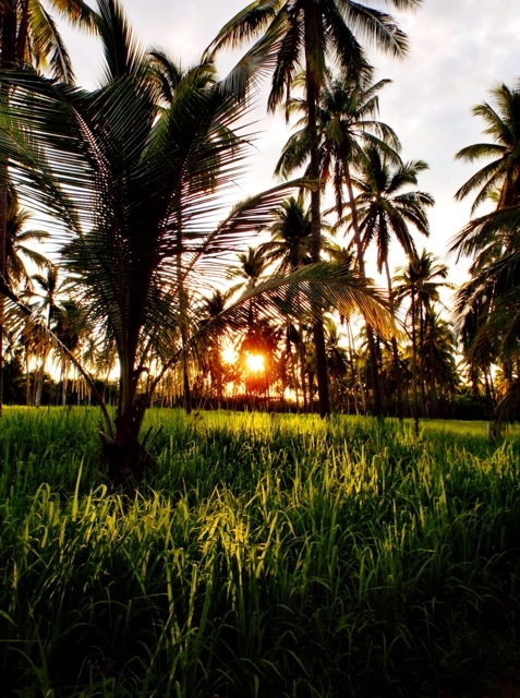 The sun setting behind a field of palms