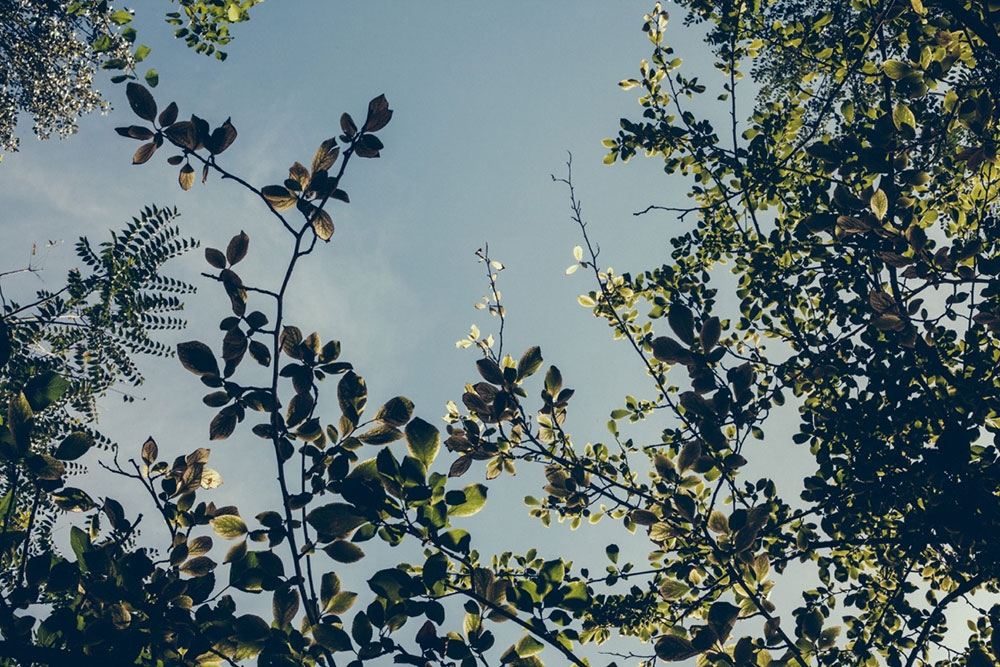 Looking up at green leaves and blue skies