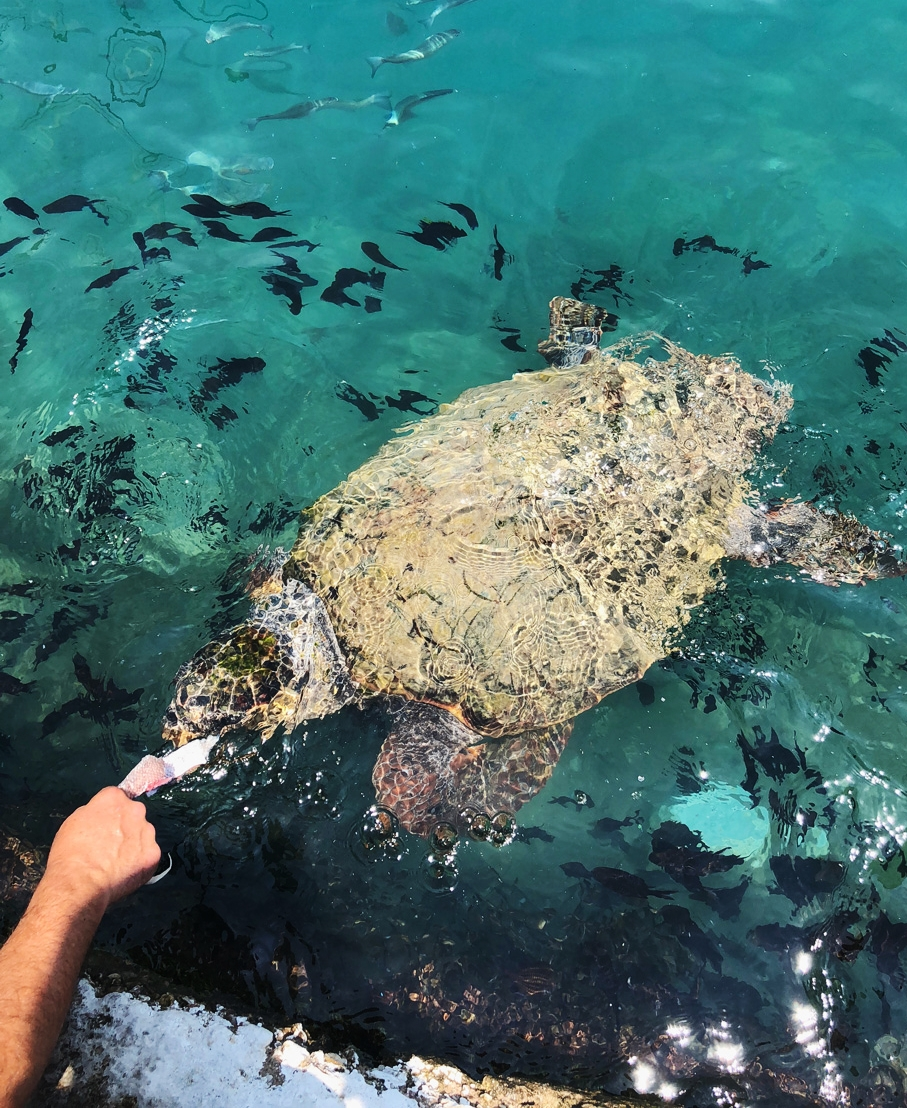A large sea turtle is being hand fed in shallow, turquoise waters surrounded by a school of small black fish