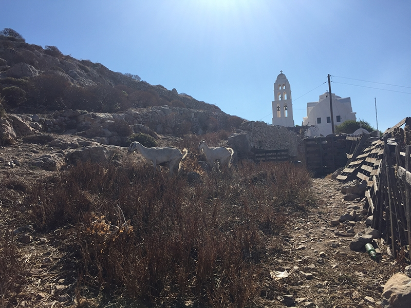 Two goats grazing on a hill in front of the white Church of Panagia