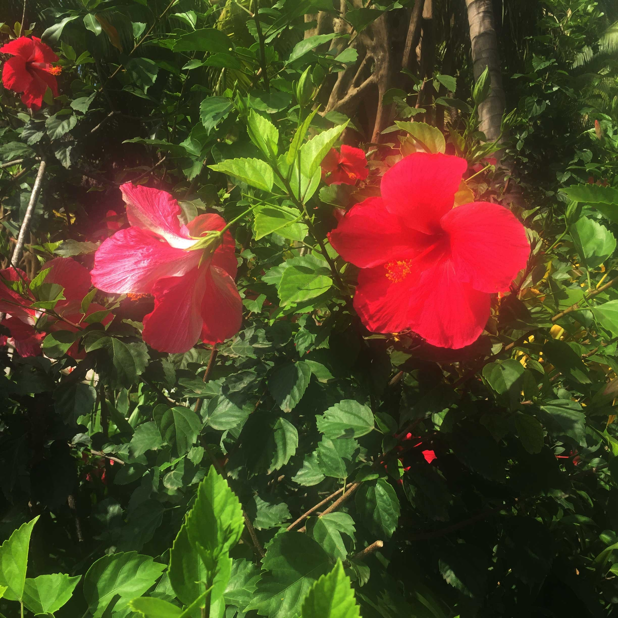 Bright pink hibiscus flowers sit atop a lush green bush