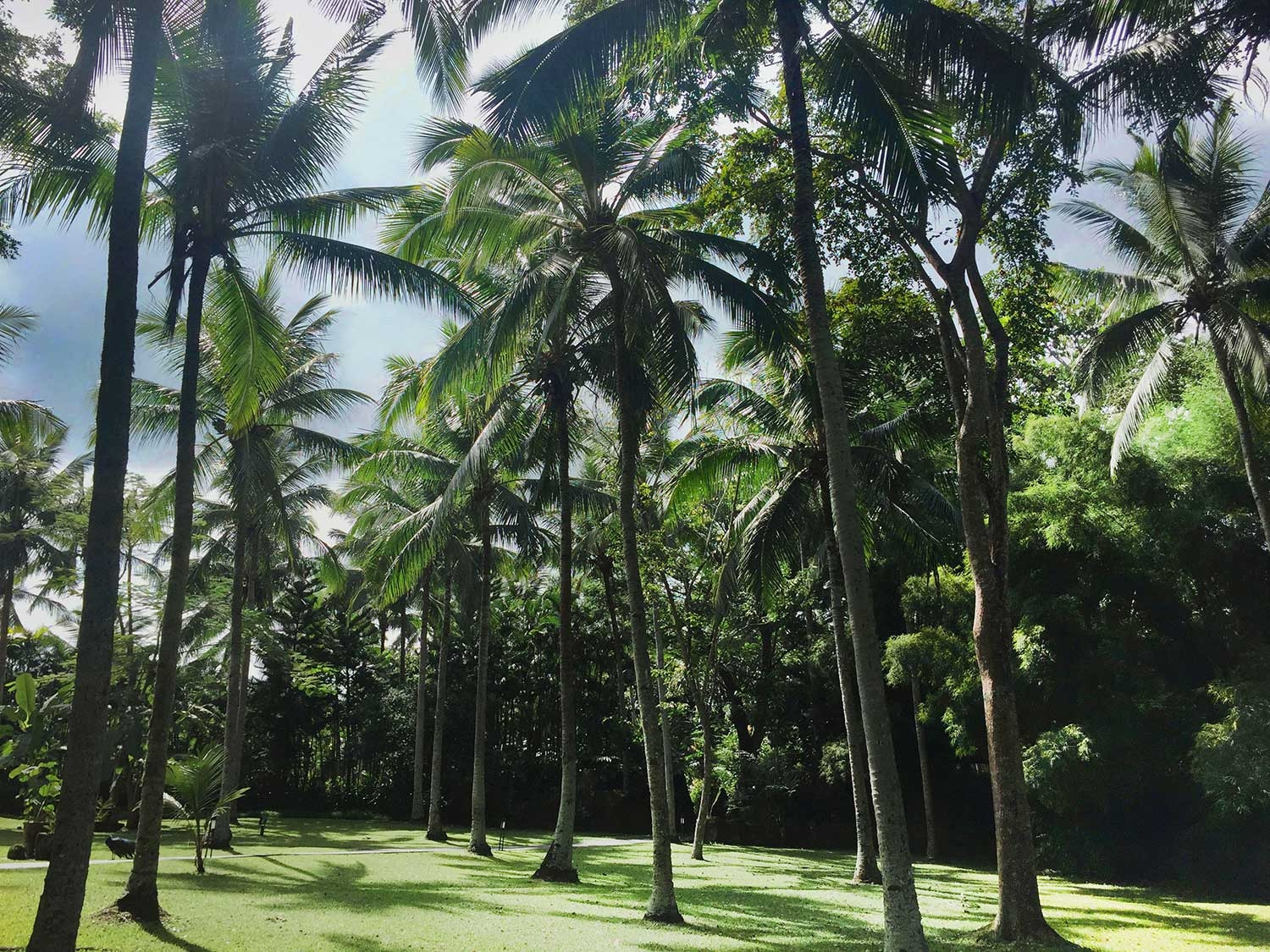 Walking through perfect rows of coconut trees