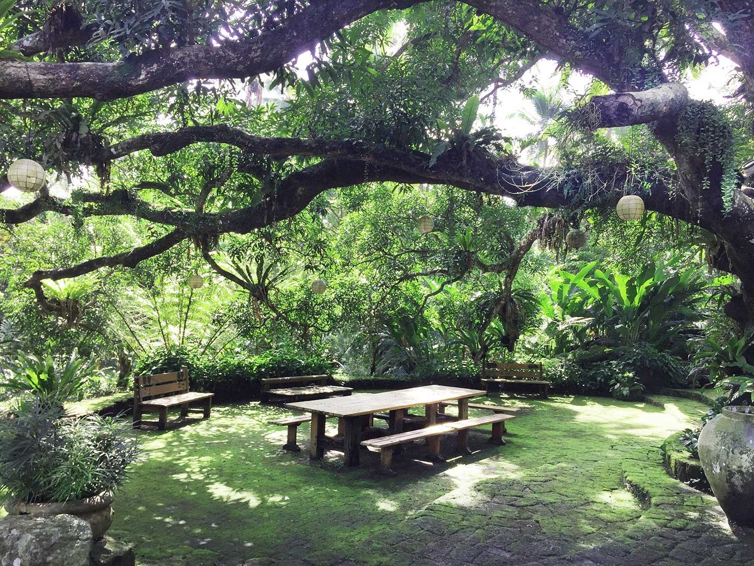 A huge old Banyan tree stretches over a picnic table in a lush green garden